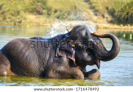 Elephant bathes in the river #1716478492
