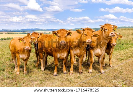 Cows portrait in cow farm #1716478525