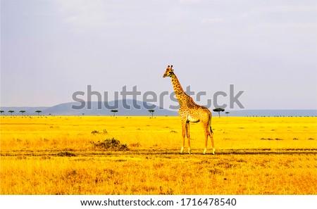 Giraffe on savannah landscape. Giraffe in nature #1716478540