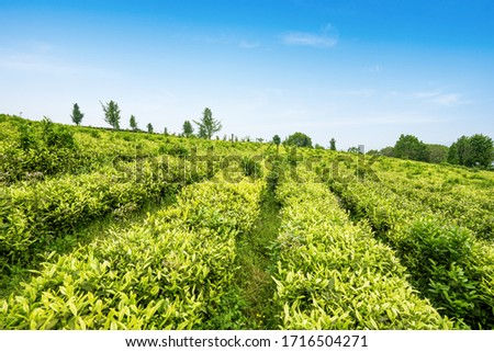 Tea plantation on the top of the mountain #1716504271