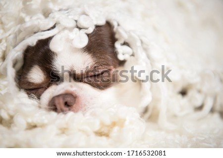 A small dog breed chihuahua lies wrapped in a white plaid. It's a funny scene. Royalty-Free Stock Photo #1716532081
