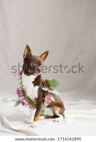Artistic brown and white chihuahua portrait in the natural light studio with fresh flower arrangements for a glamour shot