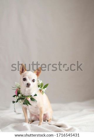 Tiny fawn Chihuahua  in the natural light studio with fresh flower arrangements for a glamour shot and room for text