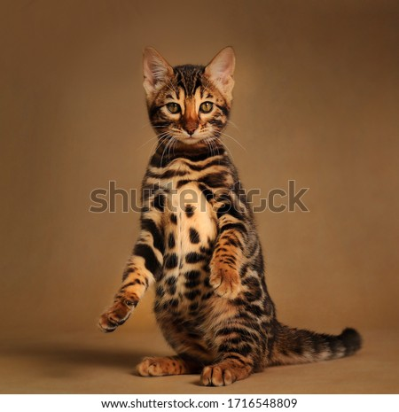 Beautiful bengal cat posing on the carmel gold background  Royalty-Free Stock Photo #1716548809