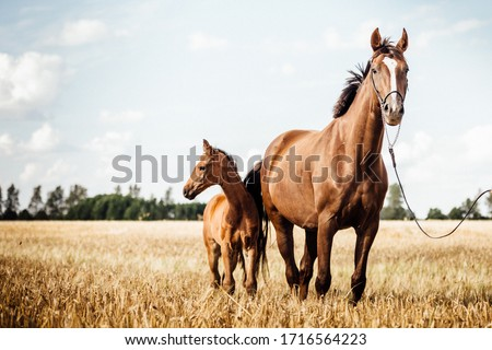 Horse Stud and her beautiful foal on a field Royalty-Free Stock Photo #1716564223