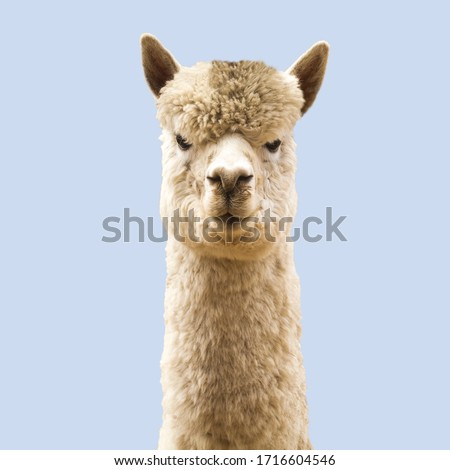 Funny angry-looking alpaca on blue background #1716604546