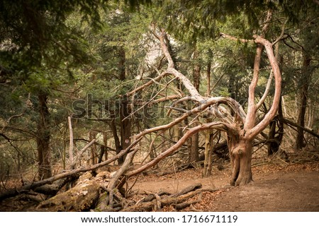Ancient and spooky yew in the yew forest, haunted century yew #1716671119
