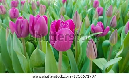 Magenta tulips against green foliage. Purple tulips background. Tulips backdrop. Purple floral background. Purple tulip blooms. Blooming tulips. Purple tulip buds. #1716671737