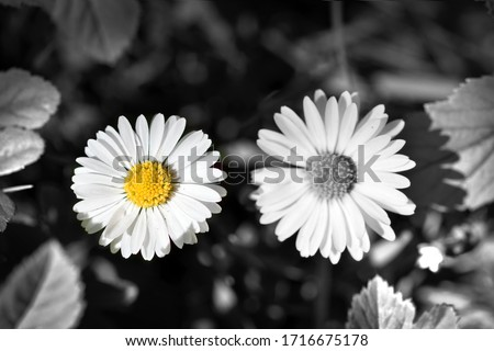 Two daisies flowers one colorful Royalty-Free Stock Photo #1716675178
