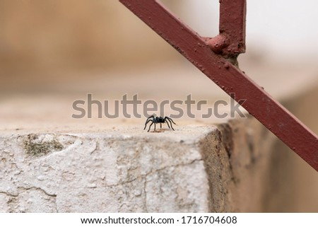 Tarantulas are the largest spiders in the lycoside family (Lycosidae), especially members of the Lycosa genus such as Lycosa tarantula