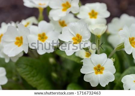 Perennial primrose or primula in the spring garden. Spring primroses flowers, primula polyanthus, white primroses in spring woods. Beautiful colors of primrose in the garden. Nature background #1716732463