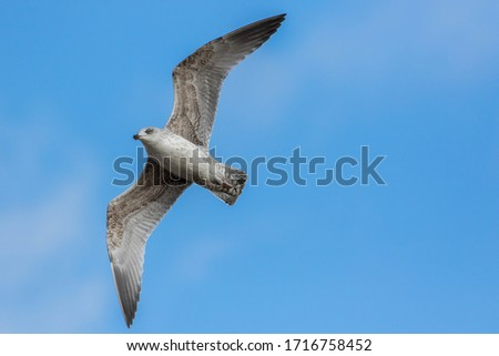Free as a bird. Herring gull Larus argentatus in winter plumage against blue sky. Freedom concept image with copy space. Seagull flying overhead.