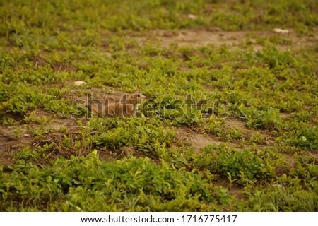 Prairie dog in the scrub grass prairie of the American Great Plains #1716775417