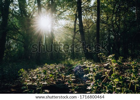 Magical enchanted primeval forest with golden sun rays beams casting through oak trees during springtime, Quakjeswater, Rockanje, The Netherlands #1716800464