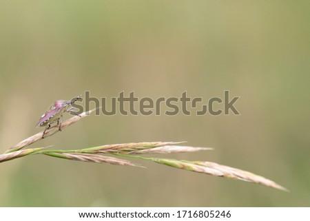Larrabetzu, Bizkaia/Basque Country; Jul. 12, 2017. A beautiful bedbug on a grass in the meadow.