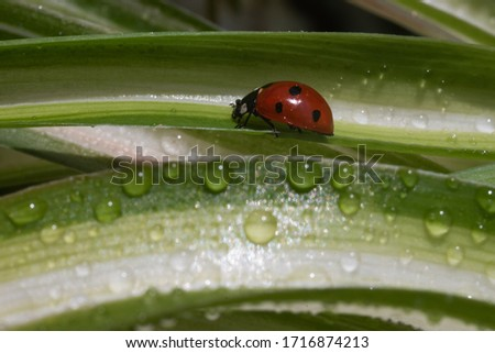 A red ladybug sits on a grass with drops and basks in the spring sun. Summer morning. Cute and beautiful macro for wallpaper or photo picture.