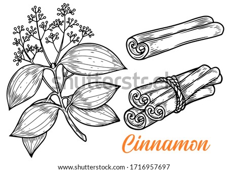 Cinnamon hand drawn vector illustration. Plant of cinnamon isolated on white background. Royalty-Free Stock Photo #1716957697