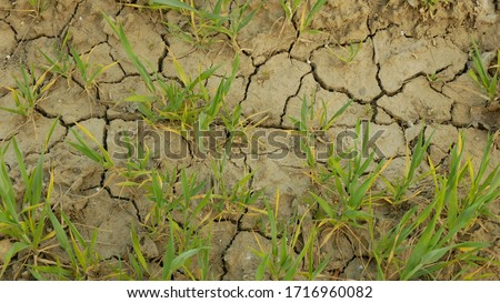 Very drought dry field land wheat Triticum aestivum, drying up soil cracked, climate change, environmental disaster earth cracks, death plants animals, soil degradation, desertification disaster #1716960082