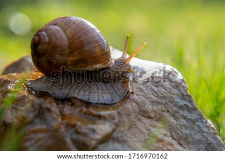 An ordinary garden snail on a stone on a blurred background, illuminated by the sun. Royalty-Free Stock Photo #1716970162