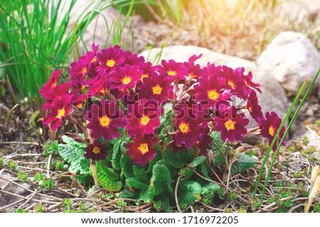 Perennial primrose or primula in the spring garden. Spring primroses flowers, primula polyanthus. Purple primroses in spring woods. Primroses in spring. The beautiful colors primrose flowers garden #1716972205