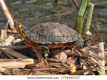 Terrapin sittong on vegetation and basking in the sun by a pond #1716980137