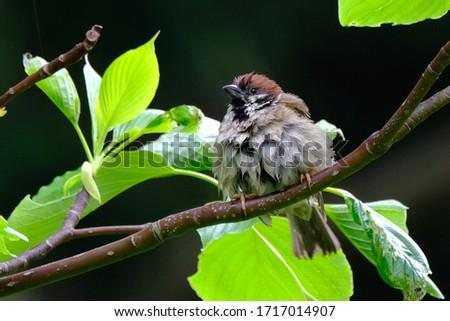 wild bird sparrow is on branch #1717014907
