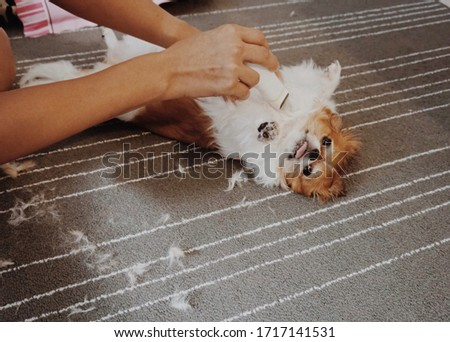 Plowing the fur of a chihuahua dog.Tone picture