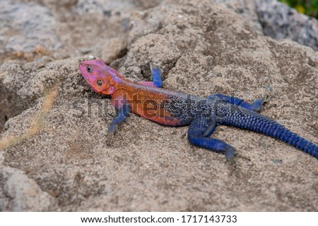 A colorful flat-headed rock agama lizard. They tend to change colour and when they get so colorful it means they are dominant.