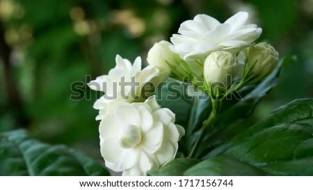 White jasmine petals overlapping,Thai jasmine,White double petal jasmine petals #1717156744
