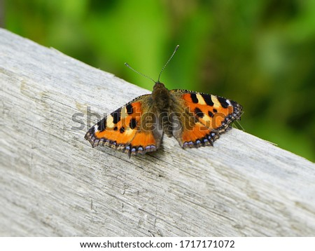 A small tortoiseshell butterfly rests on a fence railing. #1717171072
