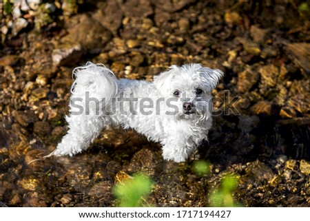 cute little maltese cooling daown in the clear water of a brook