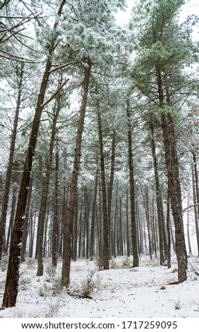 Tall pine forest with snow in winter  #1717259095