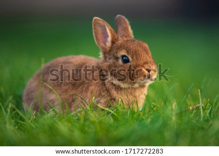 Cute little dwarf rabbit on a green grass. Baby rabbit with black eyes. Eastern bunny. Nice pet for kids. Rabbit isolated