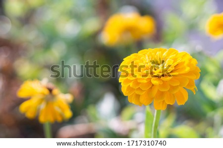 Chrysanthemum blooming in the autumn garden. The yellow chrysanthemum background image has a blurred background. There is space to design and insert text. #1717310740