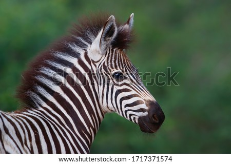 Portrait of a young zebra in the Kruger National Park standing against a green bush Royalty-Free Stock Photo #1717371574
