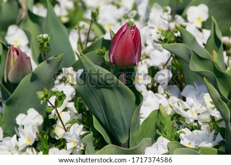 Close up picture of beautiful tulips outdoor