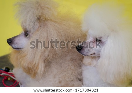 dog poodle white and cream two little beautiful poodles postcard dog show shaggy poodle kiss dog animal poodle on a yellow background
