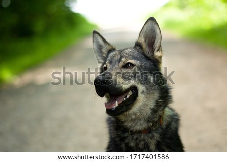 Cute young dog portrait. Mixbreed of czechoslovakian wolfdog. #1717401586