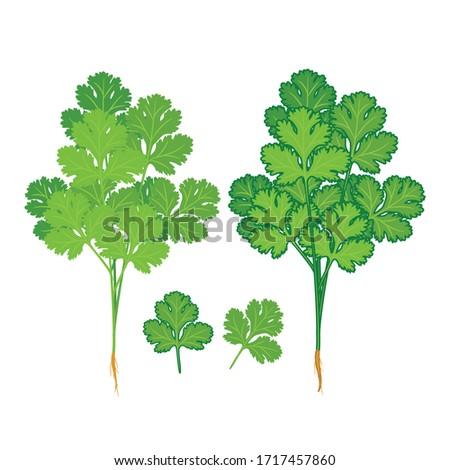 Coriander and Coriander leaves isolated on white background. herbs, Healthy food, vegetable, Vector Illustration #1717457860