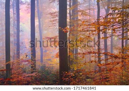 Colorful tall beech trees close-up. Forest floor of red and orange leaves. Fairy autumn landscape. Pure morning sunlight glowing through the tree trunks. Heidelberg, Germany