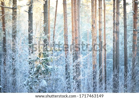The wall of pine, spruce, juniper and birch trees in a coniferous forest at sunset. Golden evening sunlight glowing through the tree trunks. Winter wonderland. Finland Royalty-Free Stock Photo #1717463149