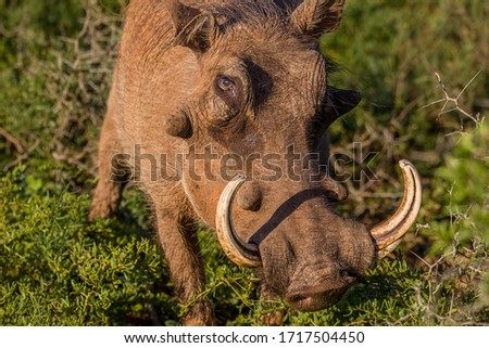 Close up portrait of a warthog with  big and dangerous tusks.  #1717504450
