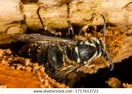 Dolichovespula maculata, colloquial names include the bald-faced hornet, bald hornet, white-faced hornet, white-tailed hornet, spruce wasp, blackjacket, and bull wasp.