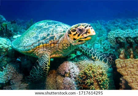 Sea turtle underwater scene. Underwater sea turtle #1717614295