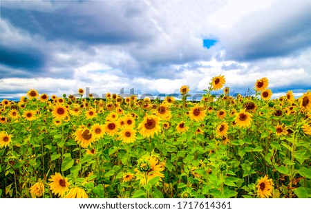 Sunflower field nature scene view. Sunflowers field view #1717614361