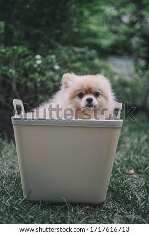 The dog Pomeranian spitz in the basket #1717616713