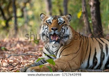 Male Royal Bengal Tiger, Bamera son of B2, portrait #1717643998