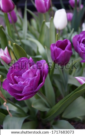 A close up of tulip,Blue Diamond in a container of mixed bulbs. This gorgeous late tulip is pictured in late April in full bloom. Despite its name it is a pretty purple colour.