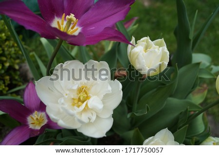 Pink and white tulips planted in a plain terracotta pot. The pink spiky petals of the pink tulip contrasts with the soft double cream tulips. Pictured in late April.