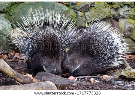 two porcupines sit in a house in an aviary in the Kaliningrad zoo